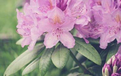 Rhododendren – Verblühtes ausbrechen