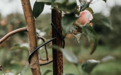 Winterschutz für empfindliche Bäume