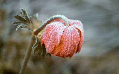 Vorgetriebene Blumenzwiebeln schützen