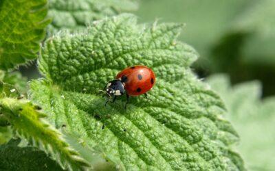 Nützlinge contra Blattläuse