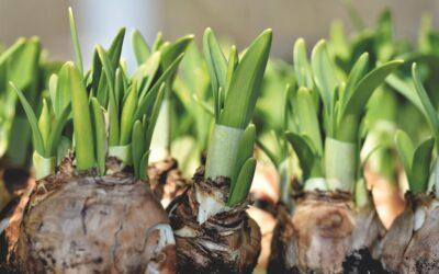 Verblühtes aus Blumenzwiebeln entfernen