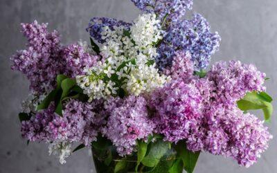 Edelginster und Flieder für die Vase