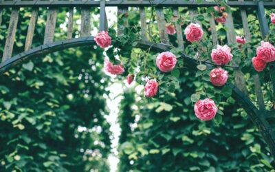 Rosenlianen erobern Baumkronen